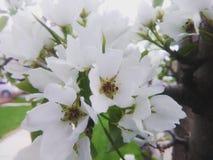 Witte bloesems Royalty-vrije Stock Afbeeldingen