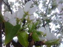 Witte bloesems Stock Afbeeldingen