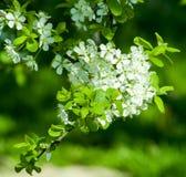 Witte bloesems op groene achtergrond royalty-vrije stock afbeeldingen