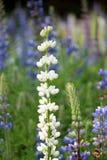 Witte Bluebonnet-bloem (Lupinus texensis) in tuin Royalty-vrije Stock Afbeeldingen