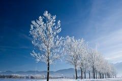 Witte bomen Stock Foto