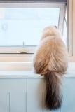 Witte Bontcat sitting door het Venster Stock Foto's