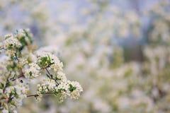 Witte boombloemen Stock Afbeelding