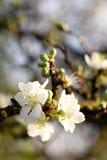 Witte boombloemen Royalty-vrije Stock Afbeelding