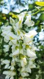 Witte boombloemen in de lente stock afbeelding