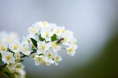 Witte boombloemen met een bij Stock Afbeeldingen