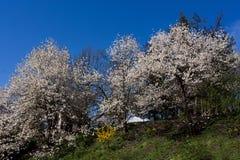 Witte boombloesems op blauwe hemelachtergrond royalty-vrije stock afbeeldingen