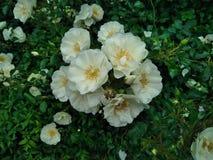 Witte Bos van Bloemen stock foto