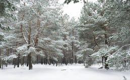 Witte bossnowless-stilte in de winterbos royalty-vrije stock foto's