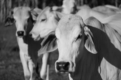 Witte Brahmaankoeien in paddock met kuddepartners Stock Foto