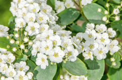 Witte bruidbloemen, Gypsophila Stock Afbeeldingen