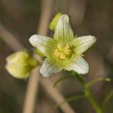 Witte bryony bloem Royalty-vrije Stock Fotografie