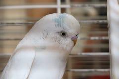 Witte Budgie-Vogel Stock Afbeelding