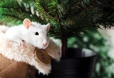 Witte buitensporige rat met leuke zwarte ogen in warme pluizige huisschoen voor Kerstboomachtergrond royalty-vrije stock afbeeldingen