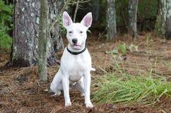 Witte bull terrier-hond stock afbeelding