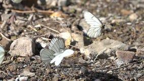 Witte butterflys stock video