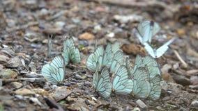 Witte butterflys stock footage
