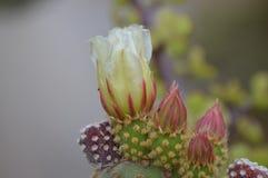 Witte cactusbloem Stock Afbeeldingen