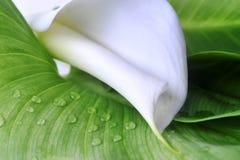 Witte calla lelie Royalty-vrije Stock Afbeelding