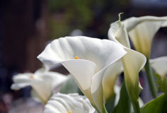 Witte calla lelie Stock Fotografie
