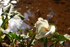 Witte calla leliebloem met insect stock afbeeldingen