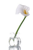 Witte Calla Lilly Stock Afbeelding