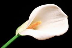 Witte Calla lilly over zwarte achtergrond Stock Afbeeldingen