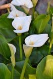Witte callas Royalty-vrije Stock Foto's