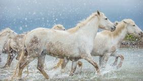 Witte Camargue-Paarden die door water galopperen Stock Foto