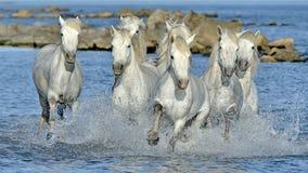 Witte Camargue-Paarden die door water galopperen Stock Afbeeldingen