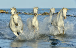 Witte Camargue-Paarden die door water galopperen Stock Foto's