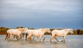 Witte Camargue-Paarden die door water lopen Royalty-vrije Stock Fotografie