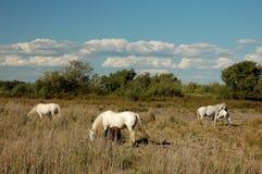 Witte camarguepaarden Royalty-vrije Stock Afbeelding