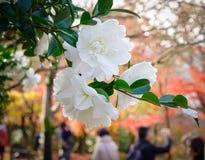 Witte Cameliabloemen die bij tuin bloeien royalty-vrije stock afbeeldingen