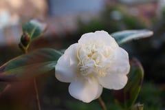 Witte cameliajaponica Royalty-vrije Stock Foto