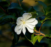 Witte Camellia Blossom Royalty-vrije Stock Afbeelding