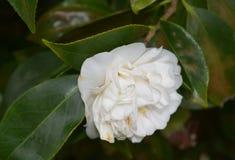 Witte Camellia Blossom op Altijdgroen Bush royalty-vrije stock afbeeldingen