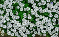 Witte candytuftvertoning van bloemen Royalty-vrije Stock Fotografie