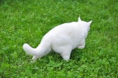 Witte Cat Walking op Groen Gras Stock Fotografie