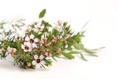 Witte Chamelaucium Waxflower Stock Afbeeldingen