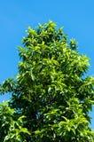 Witte Champaka-boom stock afbeeldingen