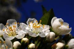 Witte cherryblossom Royalty-vrije Stock Afbeeldingen