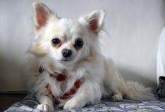 Witte chihuahua in rode uitstekende halsband royalty-vrije stock afbeeldingen