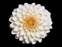 Witte chrysant stock foto