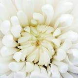 Witte chrysant stock afbeelding