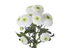 Witte Chrysant royalty-vrije stock foto's