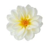Witte chrysant Stock Foto's