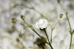 Witte chrysant Stock Afbeeldingen