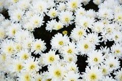 Witte chrysant Royalty-vrije Stock Afbeeldingen
