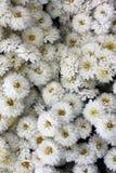 Witte chrysant Bloemen in de sneeuw stock foto's